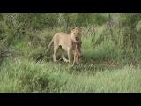 Дикий лев и теленок